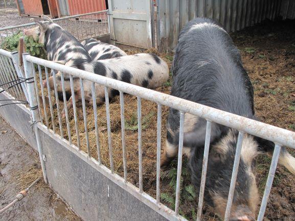 オーガニック農場の豚さん。デンマークは、人口の約5倍の豚を生産しています。