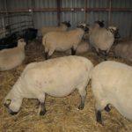 オーガニック農場の羊さんたち